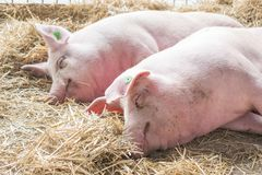 Two fat pink pigs sleep on hay and straw at pig breeding farm stock photos