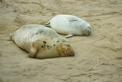 Seal pups sleeping on the sand. stock image