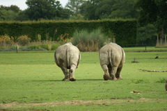 Two fat white rhinos Stock Photography