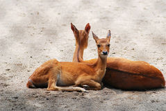 Two fawn Royalty Free Stock Images