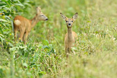Two fawn deer. Two young fawn deer in green countryside field Stock Image