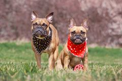 Two fawn French Bulldog dogs wearing matching black and red neckerchief with hearts