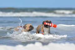 Two fawn French Bulldog on holidays dogs playing fetch with a maritime dog toy among waves in the ocean royalty free stock photo