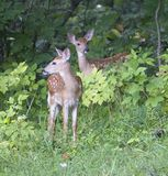 Two fawns. A pair of whitetail fawns coming from a forest royalty free stock photos