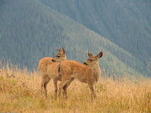 Two fawns alerted to danger. Captured at Hurricane Ridge in the Olympic Peninsula National Park on a summer day Royalty Free Stock Photography