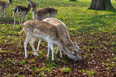 Two fawns eating Stock Image