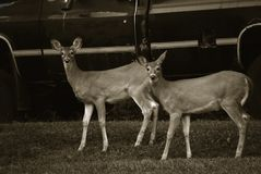 Two Fawns in Front of A Black Truck royalty free stock images