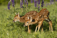 Two fawns in lupine flowers. Two young whitetail deer fawns standing in front of purple lupine flowers in mountain field Royalty Free Stock Photography