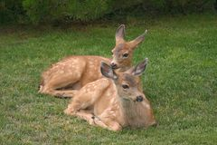 Two fawns at rest. Two fawns resting while waiting for their mother to return after foraging royalty free stock images