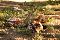 Two fawns sitting. Two deer with antlers sitting on the grass Royalty Free Stock Photo