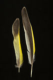 Two feathers of Greenfinch, Carduelis chloris Royalty Free Stock Image