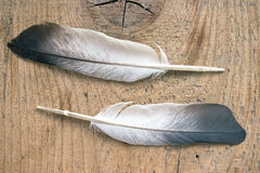 Two feathers Stock Images