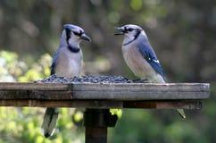 Two Feeding Blue Jays. Two blue jays feeding at a bird-feeder Stock Photo