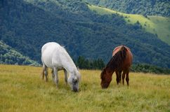 Two feeding horses in mountains Royalty Free Stock Photo