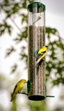 Two Feeding Yellow Finch Royalty Free Stock Photos
