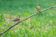 Brambling. Two female Brambling stand on branch. Scientific name: Fringilla montifringilla stock photos