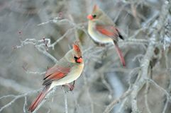 Two Female Cardinals Royalty Free Stock Photos