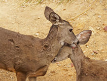 Two female deer help groom each other Royalty Free Stock Photos
