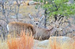 Mule Deer Does Stock Photography