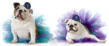 Two female dogs Stock Photo