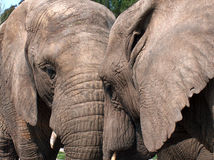 Two female elephant cows Stock Images