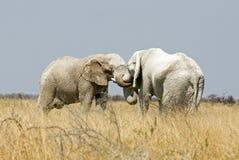 Two female elephants embrace Stock Photography