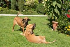Two female of Fila Brasileiro (Brazilian Mastiff) Royalty Free Stock Photos