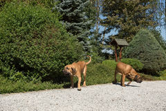 Two female of Fila Brasileiro (Brazilian Mastiff) Stock Images