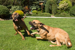 Two female of Fila Brasileiro (Brazilian Mastiff) Royalty Free Stock Images