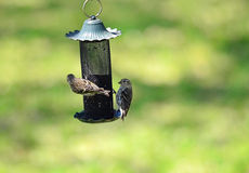 Finches on Thistle Feeder Royalty Free Stock Images