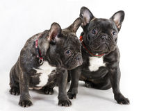 Two female French bulldog. Stock Image