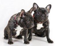 Two female French bulldog. stock image