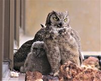 Two Moms and a Baby Owl. Two female Great Horned Owls raising owlets on an office ledge on a hot day in Reno, Nevada Royalty Free Stock Images