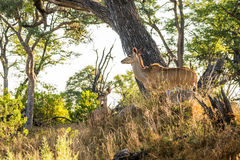 Two female Greater Kudu antelopes in the forest of Okavango delta Stock Images
