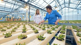 Two farmers, female greenhouse workers are checking green salad sprouts. Two female greenhouse workers are checking green salad sprouts. 4K stock footage
