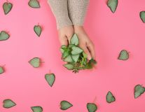 Two female hands and fresh green leaves of a plant. On a pink background, top view. Concept of natural care cosmetics for skin against wrinkles and aging royalty free stock images