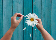 Two female hands hold in hand big white daisy petals and tear royalty free stock image
