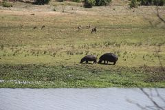 Two female hippos grazing by the water in the bush, Kruger NP, South Africa stock photos