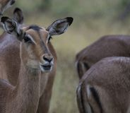 Two female Impala, Aepyceros melampus, looking at camera. With rain drops on head and other Impala at the side. Kruger National Park, South Africa stock photo