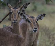 Two female Impala, Aepyceros melampus, looking at camera. With rain on face and eyelashes. Kruger National Park, South Africa stock images