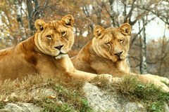 Two Female Lion Royalty Free Stock Images