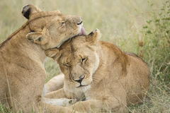 Two female Lions grooming (Panthera leo) in Tanzania royalty free stock photo