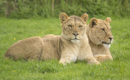 Two female lions Stock Image