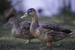 Two Female Mallards Stock Photo