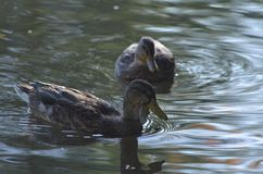 Two female mallards swimming in a lake, ducks in water in autumn royalty free stock photo
