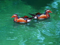 Two female of mandarin duck floating on clear water Royalty Free Stock Photography