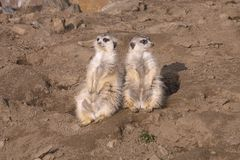 Two female meerkat on guard Stock Photos