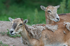 Two female mouflon Stock Photos