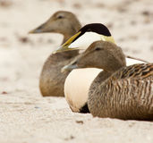 Two female and one male duck on a beach. At the northsea Royalty Free Stock Photo