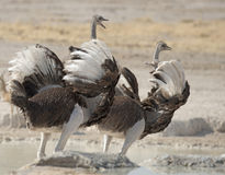 Two female  ostrich Royalty Free Stock Photography